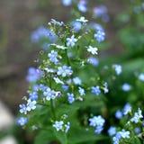 Vergessen Sie mich nicht, kleine Blumen im Garten lizenzfreie stockfotografie