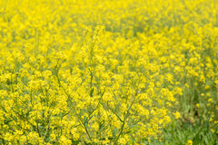 Vergewaltigungsblumen auf einem Bauernhofgebiet Stockfotos