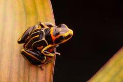 Vergiften Sie den Pfeilfrosch, Ranitomeya-fantastica gestreift verwandeln stockfotografie