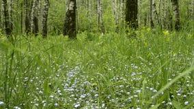 Vergissmeinnicht blüht mit grünen Blättern im Stadtpark Blühendes wildes frisches Gras Myosotis Wildflower stock video footage