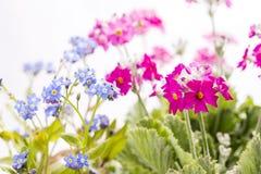 Vergissmeinnicht-Blumen und Primel Stockfoto
