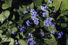 Vergissmeinnicht-Blumenblumenstrau? des Fr?hlinges blauer stockbild