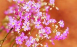 Vergissmeinnichtblume Blütenblumen Stockfotografie