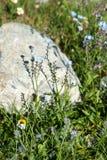 Vergissmeinnichtblumen in den Bergen Stockbild
