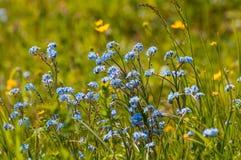 Vergissmeinnichtblumenwiese Stockfoto