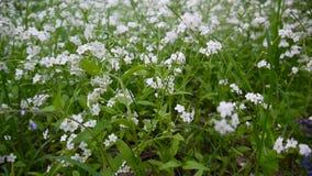 Vergissmeinnichtwaldweiße Blume Boraginaceae Myos-tis Schließende statische Kamera stock video