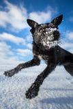 Vergnügter schwarzer Hund, der für Freude über einem schneebedeckten Feld springt lizenzfreies stockfoto