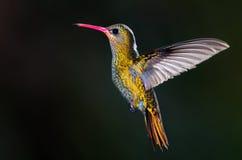 Vergoldeter Kolibri, (Hylocharis chrysura). Lizenzfreie Stockfotos