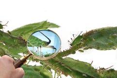 Vergrößerungsglas, das Blattläuse betrachtet lizenzfreie stockfotos