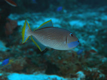 Verguld triggerfish Royalty-vrije Stock Afbeelding
