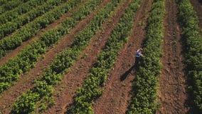 Verificação da moça as bagas em arbustos de morangos no campo, vista aérea vídeos de arquivo