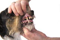 Verificação dental - terrier de Jack russell fotografia de stock