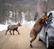 Verificação dos papéis do veículo por uma cabra-montesa fotos de stock royalty free