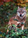 Verificación del lobo el fotógrafo Fotografía de archivo