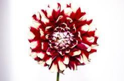 Verificadores carmesins brancos roxos Dahlia On Bright White Imagens de Stock