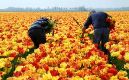 Verificadores do Tulip no trabalho Fotografia de Stock
