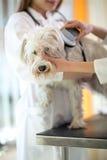 Verificando o implante do microchip no cão maltês fotografia de stock royalty free