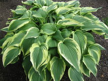 Verigated Hosta Lizenzfreie Stockfotos