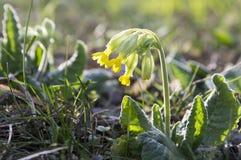 Veris de primevère, primevère commune en fleur, fleur jaune tôt de ressort photographie stock