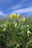 Veris de Primula Photos libres de droits