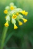 Veris del Primula immagine stock
