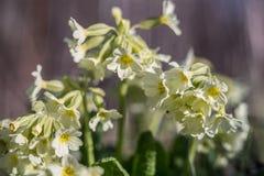 Veris del Primula Foto de archivo libre de regalías