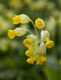 Veris del Primula Fotografia Stock
