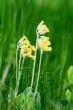 Veris della primula in alta erba Fotografia Stock