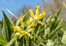 Veris della primula di primavera odorosa Fotografie Stock