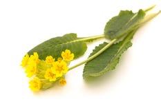 Veris della primula, fiore della molla su un fondo bianco fotografia stock libera da diritti