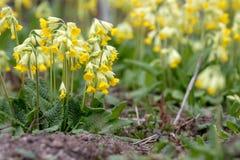 Veris do Primula imagem de stock