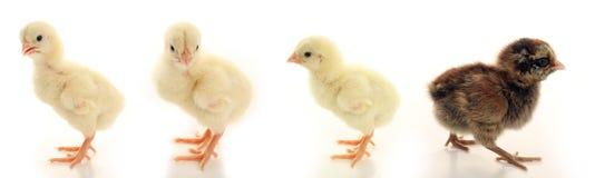 verkar olika looks för fågelunge Royaltyfria Bilder