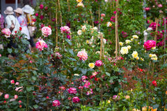 Verkauf der blühenden rosebushes Lizenzfreies Stockfoto
