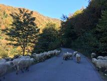 Verkeer van een groep sheeps Stock Afbeelding