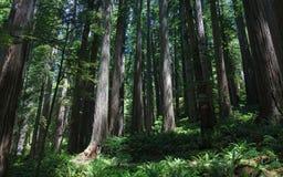 Verkleind door het reuzecalifornische sequoiabos Royalty-vrije Stock Afbeeldingen