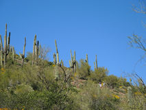 Verkleind door Saguaros Stock Foto's