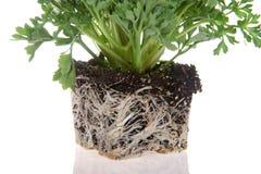 Verklemmte Anlage der Wurzel, Blume, lokalisiert auf Weiß stockfoto
