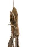 Verklemmte Hasefüße Stockfoto
