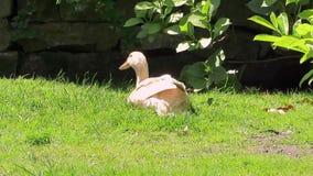 Verklemmte inländische Ente des Eies mit Beinparalyse im Sommer stock video footage