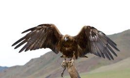 Verklemmter goldener Adler Stockbilder