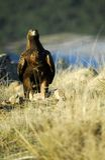 verklig aguilarovfågel Royaltyfri Foto