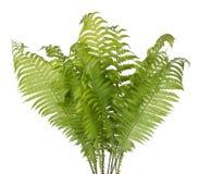 Verklig buske av en grön skogormbunkeväxt royaltyfria foton