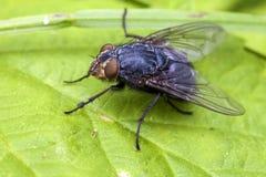 Verklig fluga - Muscidae Fotografering för Bildbyråer