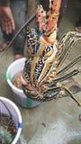 Verklig hummer i goa Royaltyfri Foto