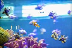 Verklig Nemo fisk i Coral Reef Aquarium Tank royaltyfria foton