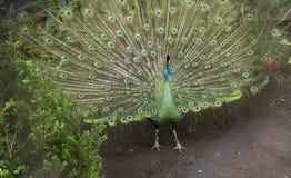 Verklig Pavo - påfågel Royaltyfri Bild