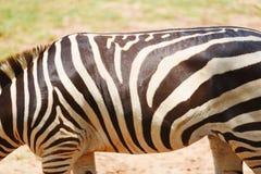 Verklig sebramodell - betar afrikanska slättar för sebra gräsfältet i nationalparken royaltyfri foto