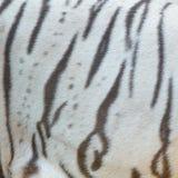 Verklig vit päls för bengal tiger Fotografering för Bildbyråer