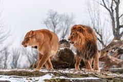 Verkliga lejonpar arkivfoton