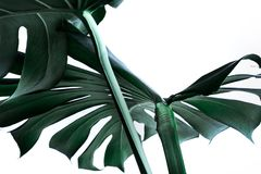 Verkliga monsterasidor som dekorerar för sammansättningsdesign tropiskt Royaltyfria Foton